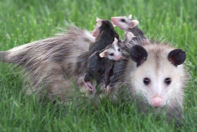 Possums have one of the shortest pregnancies at 16 days