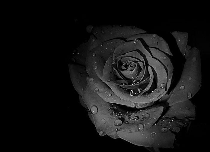 Hình nền hoa hồng đen