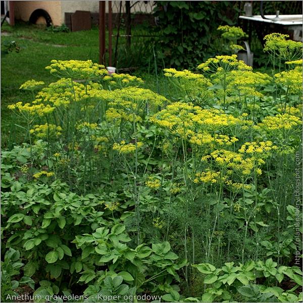 Anethum graveolens habit - Koper ogrodowy pokrój kwitnących roślin