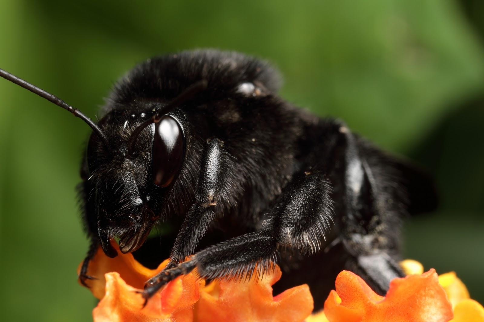Black Bumble Bee >> Gmazza S Macro Photography Blog Black Bumble Bee Portrait