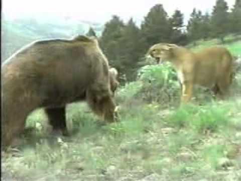 Urso pardo vs Urso polar - Página 2 585