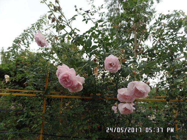 Những chùm hoa hồng Scepter'd Isle rose có màu hoa hơi ngả trắng sau 2 ngày mưa