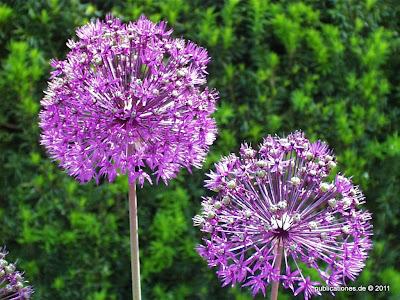 Zierlauch-Blüten