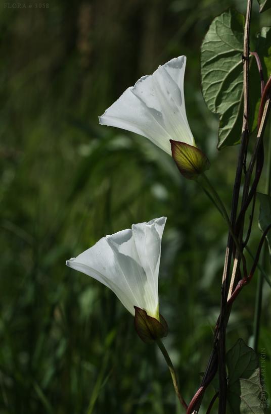 convolvulus, photo, фото, flora, вьюнок, флора, photography