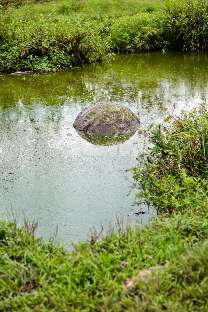 Galapagos Island Tortoise.