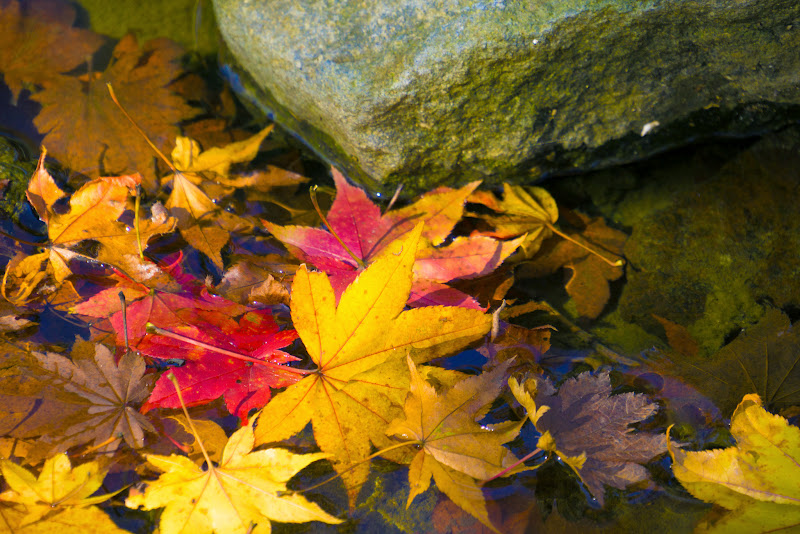 昭和記念公園 日本庭園 紅葉 写真15