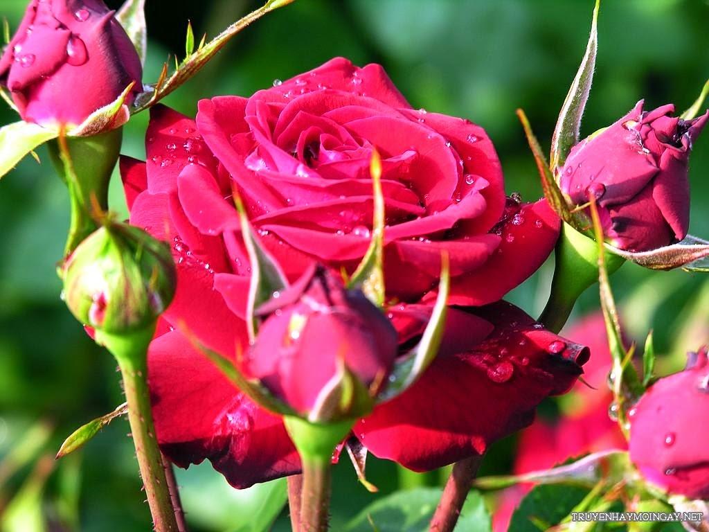 Hoa Hồng – Biểu Tượng Của Tình Yêu Đẹp