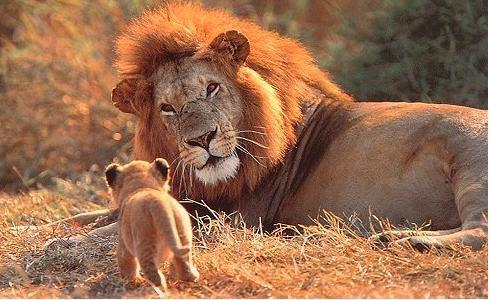 leone con cucciolo