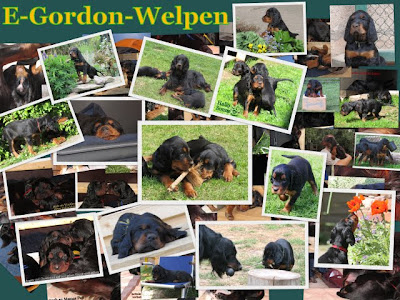 https://sites.google.com/site/kemtinsblackgordonsetter/home/wuerfe/E-Gordon-Setter-Welpen