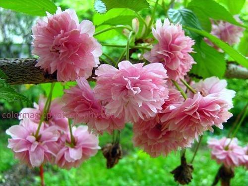 Japanese cherry blossoms-Prunus serrulata Kwanzan(Kanzan)