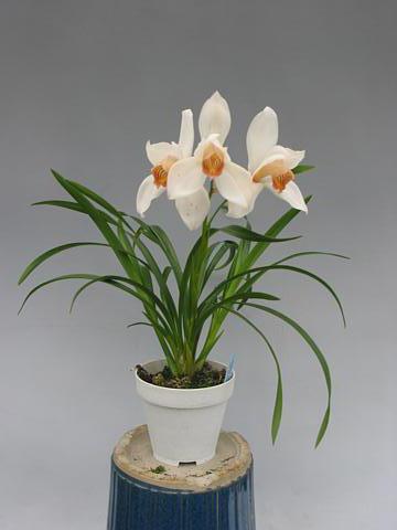 Растения из Тюмени. Краткий обзор - Страница 3 Cym_erythrostylum2