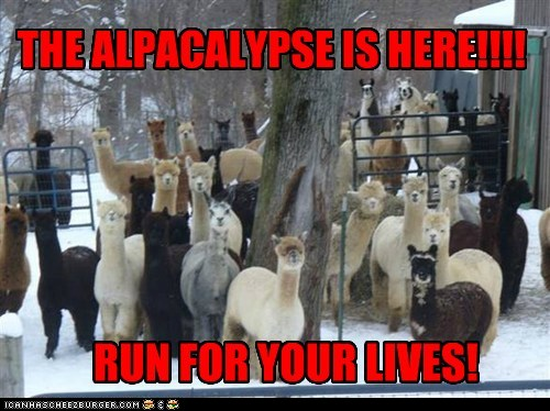 photo of a bunch of llamas...the alpacalypse is here