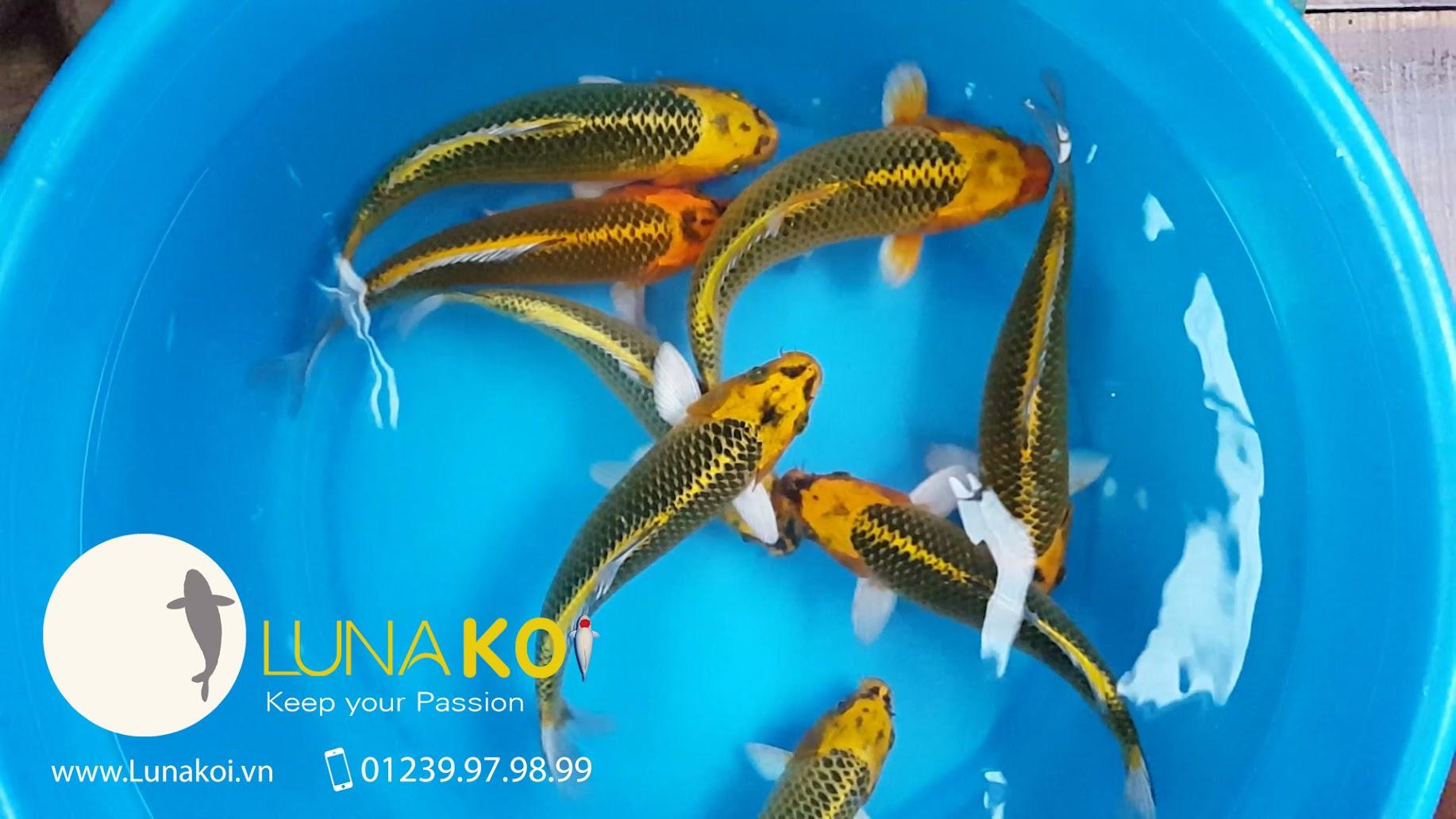Matsuba F1 trang trại cá koi luna