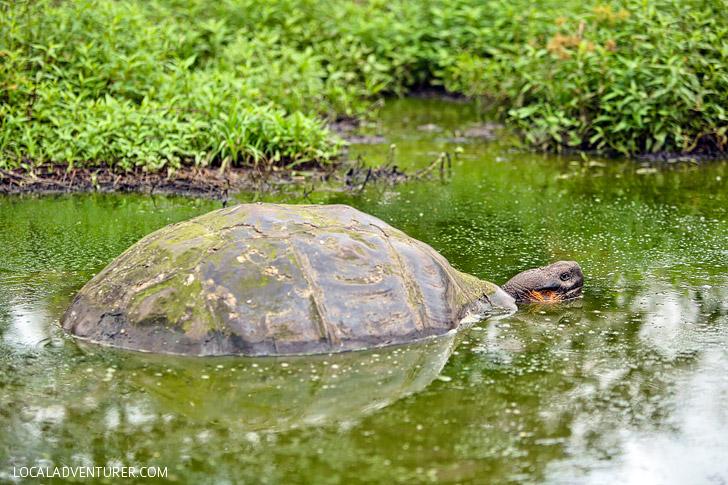 Giant Galapagos Tortoise.