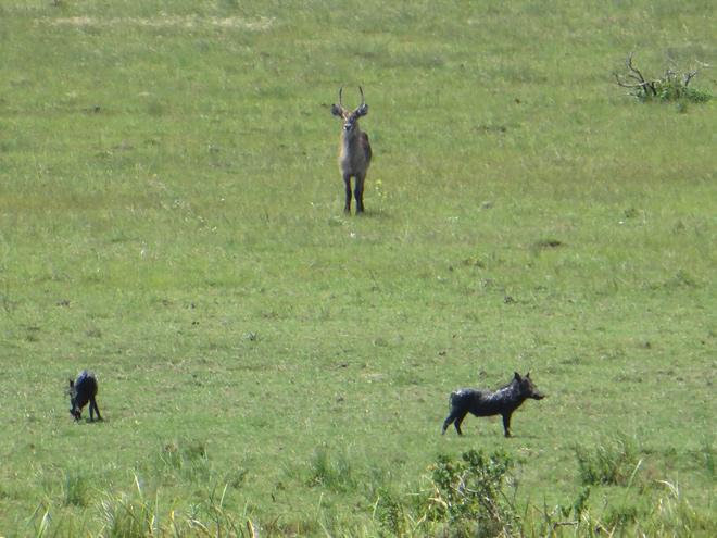 Knobbelzwijnen en Waterbok, iSimangaliso Wetland Park, Zuid Afrika