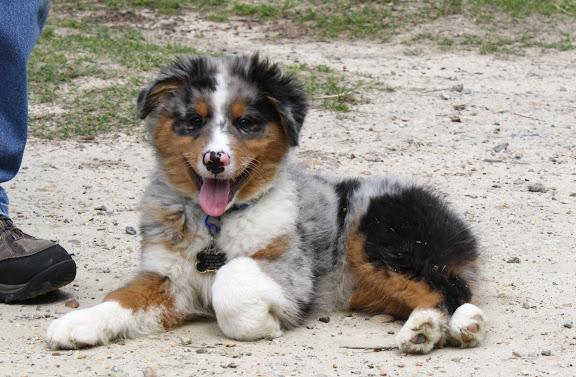 Smiling blue merle Aussie puppy