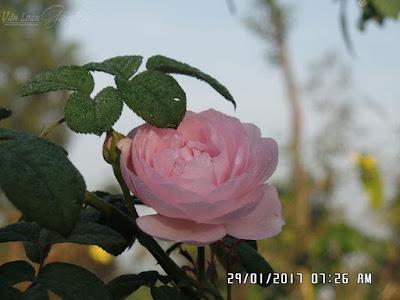 Hình dáng-form hoa hồng Scepter'd Isle
