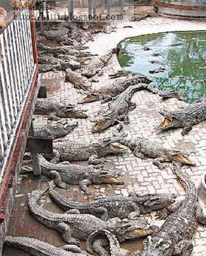 事發動物園擁有全球最大的鱷魚養殖場。(互聯網圖片)