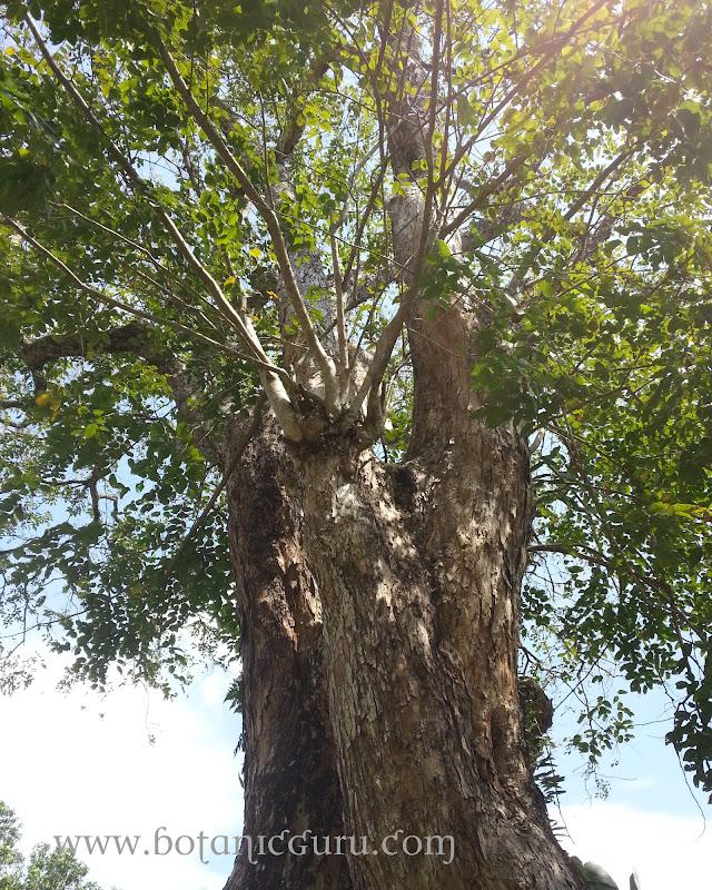 Pterocarpus indicus, Burmese Rosewood trunk