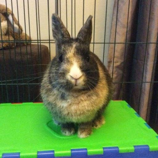 [Adoptée]-Emy-lapine tricolore Emy2-f5d38