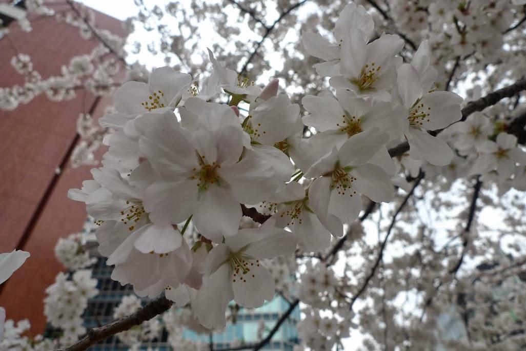 sakura nihonbashi tokyo