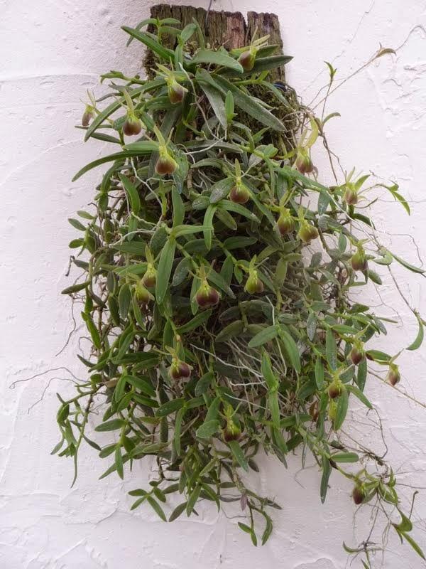 Epidendrum porpax P1180743