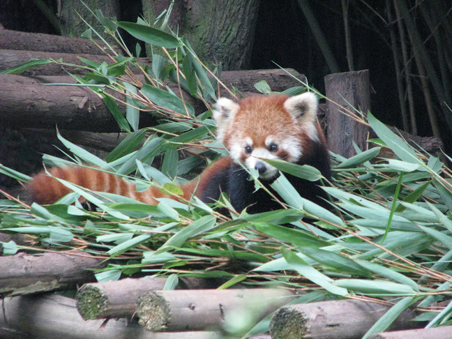 Red panda in Chengdu Panda Research Base, Chengdu