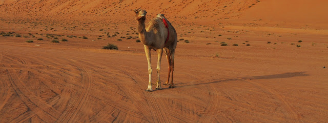 A Camel at Wahiba Sands, Oman