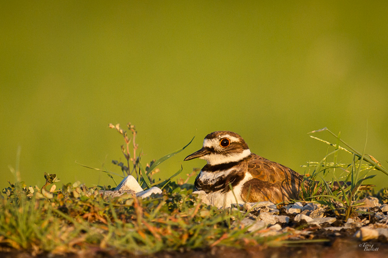 Killdeer in the Evening Light