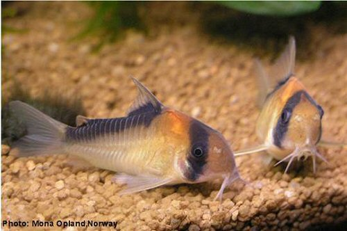 adolfo s catfish corydoras adolfoi e uma especie de