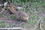 Iguazu: un coati...deux coatis!