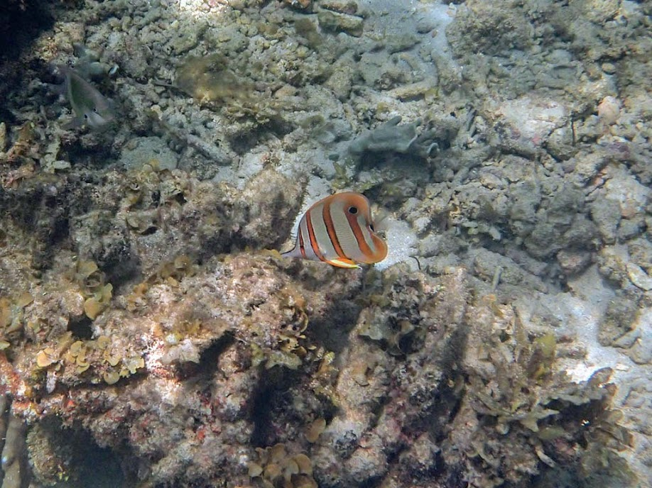 Chelmon rostratus (Copperband Butterflyfish), El Nido, Palawan, Philippines.