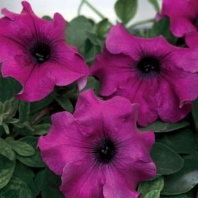 Surfinia® Giant Purple - Petunia hybrid