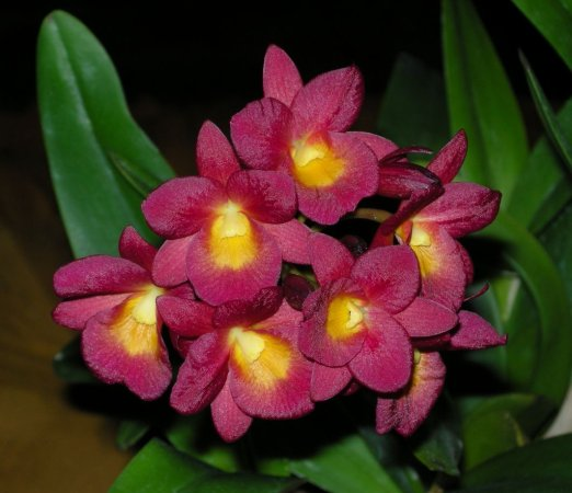 Растения из Тюмени. Краткий обзор - Страница 7 Cattleytonia%25252520Why%25252520Not-3