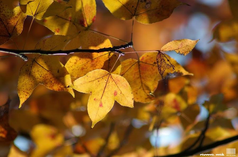 葉子不只有紅的也有金黃色的