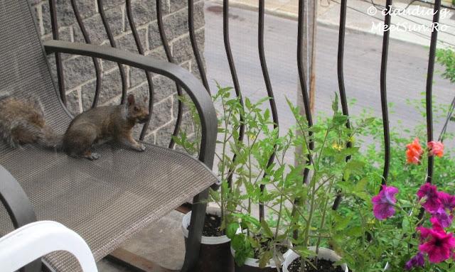 gradina din balcon si veverita