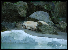 Polar Bear avoiding a hot summer sun, Bronx Zoo New York