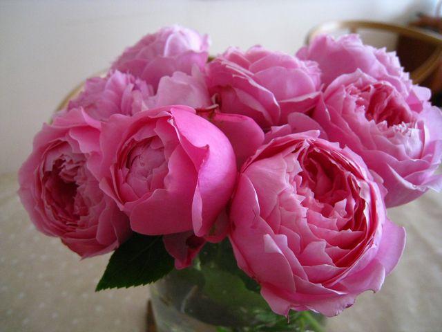 Hồng ngoại Miyako rose có thể sử dụng như hoa hồng cắt cành