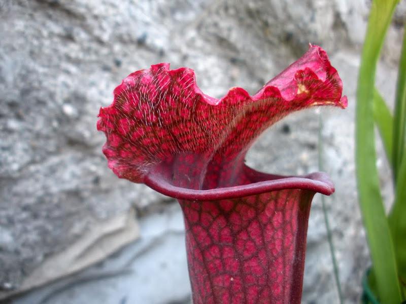 "Sarracenia ""juthatip soper"""
