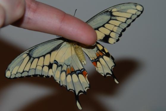 GC3D0B4 Giant Swallowtail Butterfly (Traditional Cache) en Ontario, Canadá creado por 3Nish