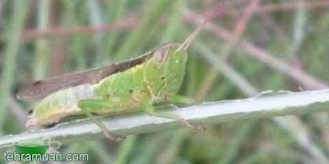 belalang hijau