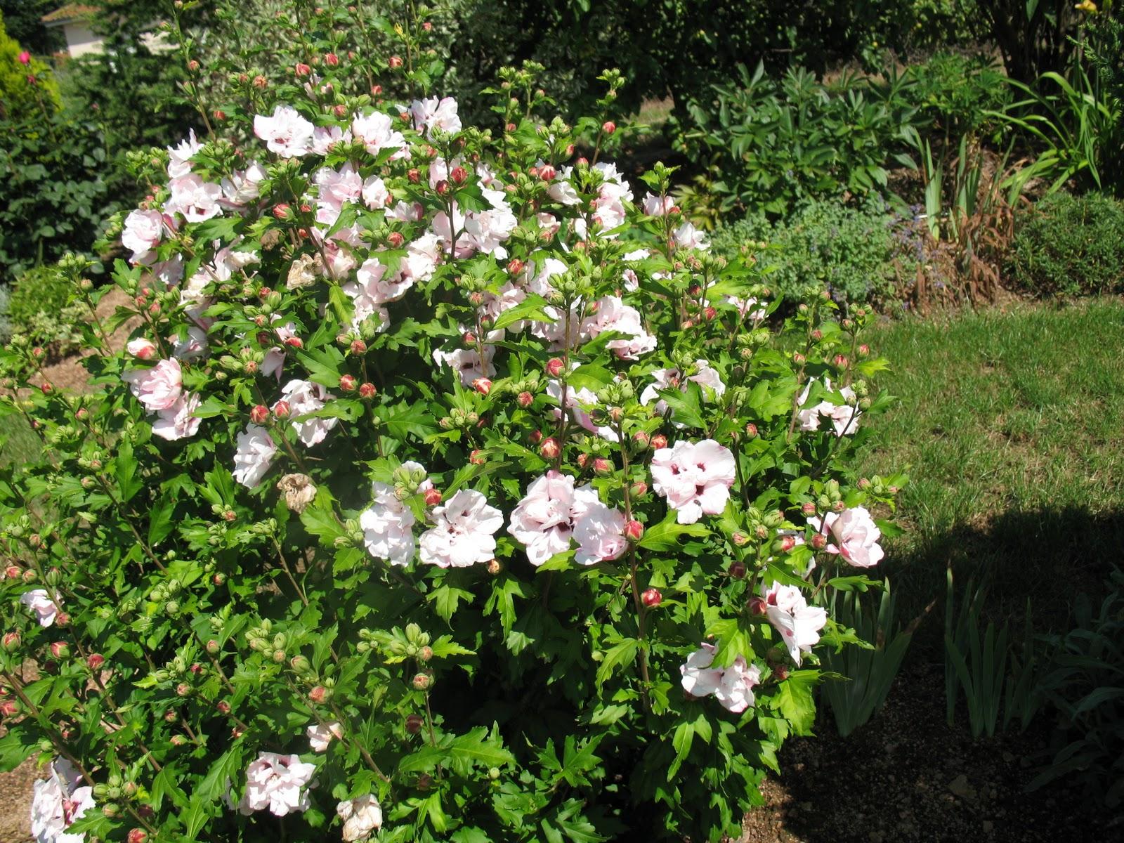 Roses du jardin ch neland taille des arbustes floraison - Taille des orchidees apres floraison ...