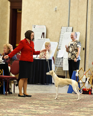 Tegan at the 2012 AWC National Specialty in Huron, OH - about 8 months old