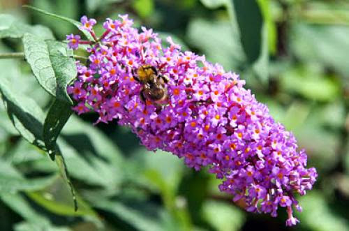 Buddleia For Bees Butterflies And Breaking Free