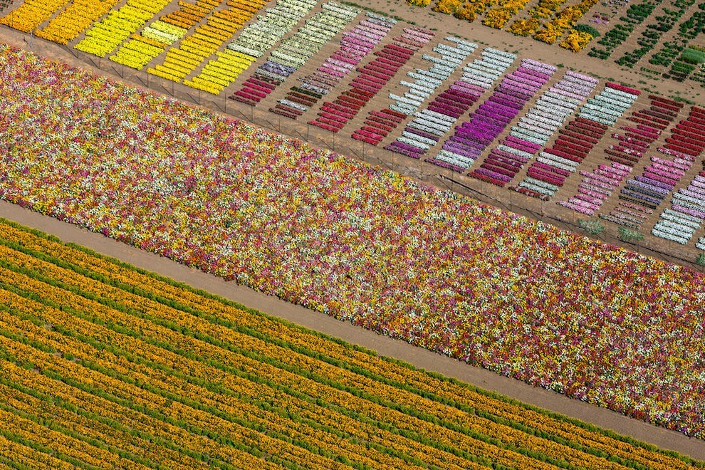 Flower fields, Lompoc, California, USA, 2013.