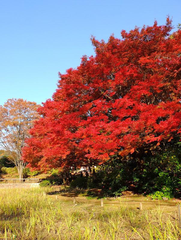 punapuu