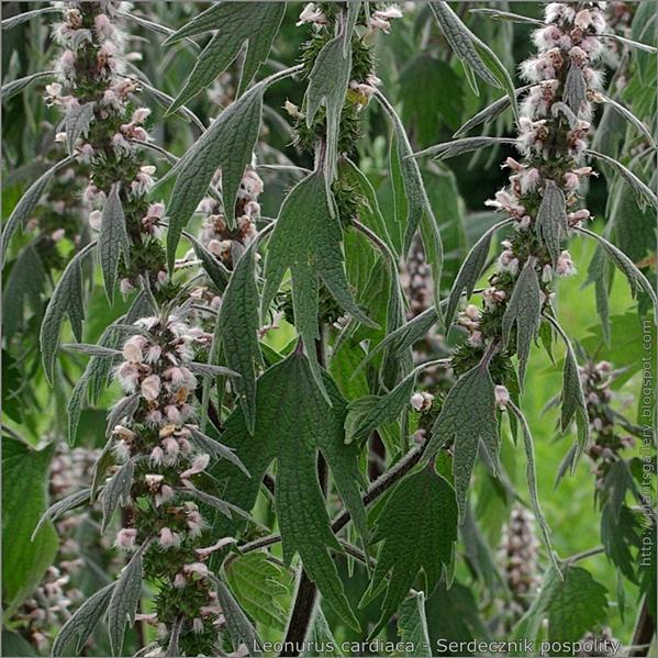 Leonurus cardiaca leafs and flower - Serdecznik pospolity liście i kwiaty