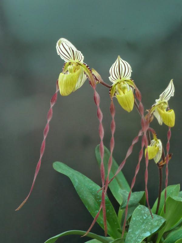 Paphiopedilum philippinense var. roebelenii   N°1 P1200398