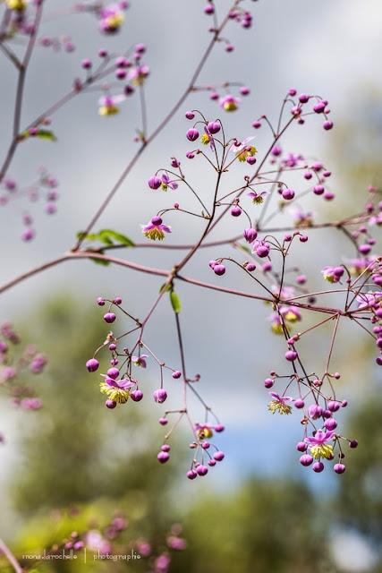 Thalictrum Lavender Mist Thalictrum-lavender-mist-130804-36rm