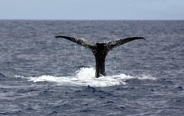 Esses magnificos Cetacios -  Cachalotes - Golfinhos etc IMG_3396a